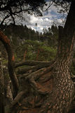 Exposed Roots Tree. Old pine tree with exposed roots royalty free stock image