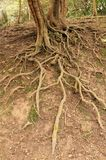 Exposed Roots of a Tree. stock photo