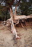 Exposed tree roots Royalty Free Stock Images