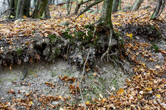 Exposed tree roots Royalty Free Stock Photo