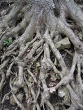 Exposed Tree Roots Stock Image