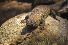 Exposer au soleil australien de reptile Photo libre de droits