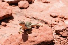 Exposer au soleil de lézard de désert des roches rouges Photos libres de droits
