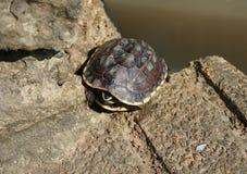 Exposer au soleil de tortues Photographie stock libre de droits
