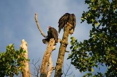 Exposer au soleil des vautours de Turquie Photographie stock