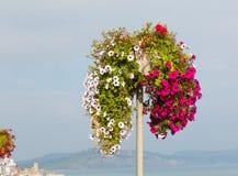 Exposição bonita de petúnias brancos e vermelhos cor-de-rosa no dia de verão na costa Imagem de Stock