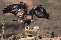 Exposição da asa de Eagle dourado fotografia de stock