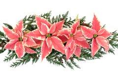 Exposição da flor da poinsétia Fotografia de Stock Royalty Free