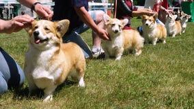 Exposição de cães do Corgi vídeos de arquivo