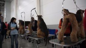 Exposição de cães internacional CACIB-FCI vídeos de arquivo