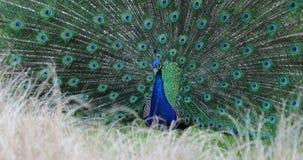 Exposição de cortejo de um pavão azul indiano masculino filme