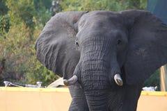 Exposição do aviso do elefante africano Fotos de Stock