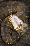 Exposição do Cottonmouth fotos de stock royalty free