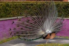 Exposição do pavão foto de stock