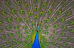 Exposição do pavão Fotografia de Stock Royalty Free