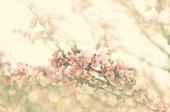 Exposição dobro da árvore das flores de cerejeira da mola abstraia o fundo conceito sonhador com folha de prova do brilho Imagem de Stock Royalty Free