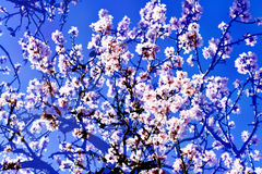 Exposição dobro de árvores de amêndoa na flor completa Imagem de Stock