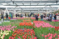 Exposição interna das tulipas no jardim de Keukenhof, Países Baixos Fotos de Stock