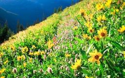 Exposições brilhantes nas montanhas de Wallowa, Oregon do Wildflower, EUA Imagens de Stock