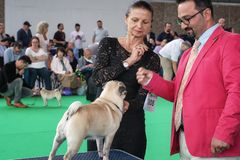 Exposições de cães do Pug ela truques ao júri durante a exposição de cães do mundo imagem de stock