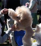 Exposición canina, caniche Imagen de archivo libre de regalías