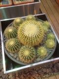 Exposición de los Succulents (cactus) en un jardín botánico foto de archivo libre de regalías