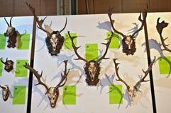 Exposición de los trofeos de la caza en la pared Foto de archivo libre de regalías