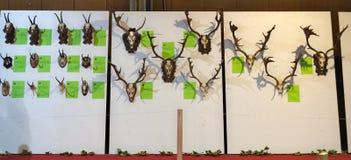 Exposición de los trofeos de la caza en la pared Imagen de archivo libre de regalías