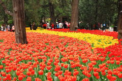 Exposición del tulipán Fotografía de archivo libre de regalías