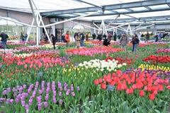 Exposición interior de los tulipanes en el jardín de Keukenhof, Países Bajos Fotografía de archivo