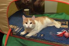 Exposición y distribución de gatos de un refugio Imágenes de archivo libres de regalías
