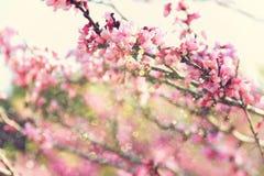 Exposição dobro da árvore das flores de cerejeira da mola abstraia o fundo conceito sonhador com folha de prova do brilho Fotografia de Stock Royalty Free