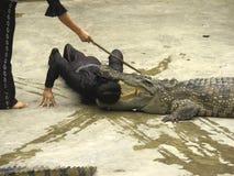 Exposition d'alligator Photos stock