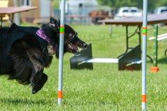 Exposition de chiens Photo stock