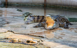 Exposition de crocodile en Thaïlande Photo stock