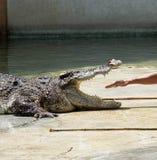 Exposition de crocodile en Thaïlande Images stock