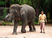 Exposition de maximus d'éléphant asiatique ou d'Elephas Images libres de droits