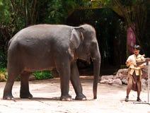 Exposition de maximus d'éléphant asiatique ou d'Elephas Image stock