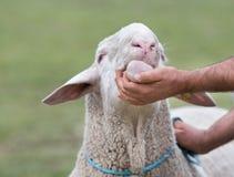 Exposition de moutons Photo stock
