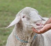 Exposition de moutons Photos libres de droits