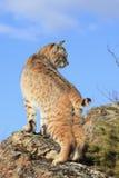Exposition de portrait de chat sauvage Image libre de droits