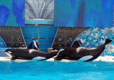 Exposition de shamu d'épaulard dans le seaworld San Diego Photographie stock libre de droits