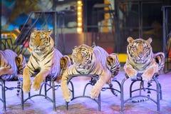 Exposition de tigres image stock