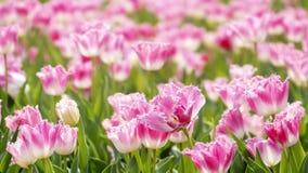 2019 exposition de tulipe de résidence principale de Shilin, Taïpeh, Taïwan images stock