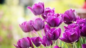 2019 exposition de tulipe de résidence principale de Shilin, Taïpeh, Taïwan photographie stock libre de droits