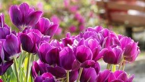 2019 exposition de tulipe de résidence principale de Shilin, Taïpeh, Taïwan image stock