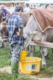 Exposition et concours de bétail à la vallée de Brembana, Serina, Bergame, Lombardia Italie Éleveur et vache brune italienne Photos libres de droits