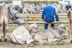 Exposition et concours de bétail à la vallée de Brembana, Serina, Bergame, Lombardia Italie Éleveur et vache brune italienne Image libre de droits