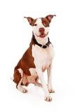 Expresión de Pit Bull Dog With Happy Fotografía de archivo