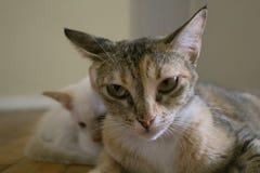 Expresión facial linda Gato de la mamá con el gatito Fotografía de archivo